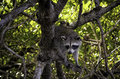 Everglades Racoon 2 Royalty Free Stock Photography - 46018707
