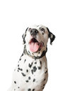 Funny Dalmatian Dog ​​with Tongue Hanging Out. Stock Images - 46021404