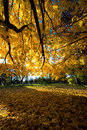 Fall Autumn Colors Maple Tree Yellow Leaves Royalty Free Stock Image - 46021966