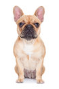 Fawn French Bulldog Royalty Free Stock Photo - 46045635