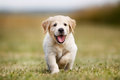 Happy Golden Retriever Puppy Stock Images - 46046484