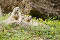 Prairie Dogs Royalty Free Stock Images - 46061409