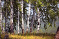 Birch Grove In The Urals Stock Photography - 46090912