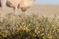 Camel Thorn Bushes Stock Images - 46096354