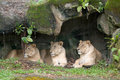 Lazy Lionesses Stock Photography - 4618422