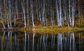 Water Reflections Of Autumn Birch Royalty Free Stock Photo - 46104505