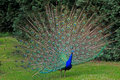 Close Up Of A Peacock Stock Image - 46108191