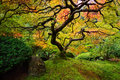 Japanese Maple Stock Image - 46117391