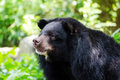 Asiatic Black Bear Royalty Free Stock Photo - 46128235