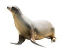 Earless Seal Royalty Free Stock Photography - 46128257