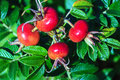 Rose Hips From Rosa Rugosa (beach Rose) Stock Photos - 46138183