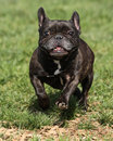 Brindle French Bulldog Running At The Park Royalty Free Stock Photography - 46149617