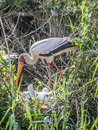 Yellow Billed Stork Watching Over Her Young Royalty Free Stock Photography - 46172127