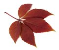 Red Autumn Virginia Creeper Leaf On White Background Stock Image - 46176371