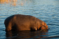 Hippo In Water Royalty Free Stock Photo - 46184175