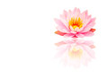 Beautiful Pink Lotus, Water Plant With Reflection On White Backg Royalty Free Stock Images - 46188099