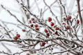 Hawthorn Berries Under Heavy Snow And Ice Royalty Free Stock Photos - 46194238