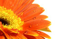 Orange Gerber Daisy With Water Drops Royalty Free Stock Photo - 4631145
