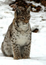 Young Lynx Royalty Free Stock Photography - 4637357