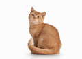Cat. Small Red British Kitten On White Background Stock Image - 46300321
