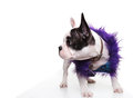 Dressed Little French Bulldog Puppy Looking To Its Side Stock Photography - 46332342