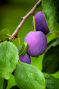 Blue Plums On The Tree Royalty Free Stock Photos - 46336348