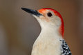 Red-bellied Woodpecker Royalty Free Stock Images - 46338349
