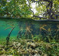Over And Under Water Surface In The Mangrove Royalty Free Stock Photo - 46341525