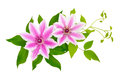 Clematis Isolated. Royalty Free Stock Image - 46376586