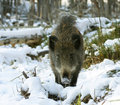 Wild Boar Stock Images - 4645174