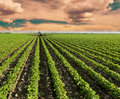 Soybean Field Ripening At Spring Season, Agricultural Landscape. Red Tractor Spraying Field. Stock Photos - 46402263