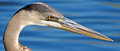 Great Blue Heron Head Shot Royalty Free Stock Photo - 46402375