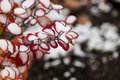 Red Bush With Snow Royalty Free Stock Photo - 46452065