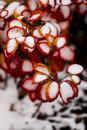 Red Bush With Snow 2 Royalty Free Stock Image - 46452066
