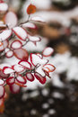 Red Bush With Snow 3 Royalty Free Stock Photography - 46452067