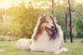 Rough Collie And A Ball. Royalty Free Stock Image - 46460406
