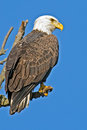 American Bald Eagle Royalty Free Stock Image - 46467936