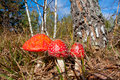 Fly Agaric Mushrooms In Autumn Forest Royalty Free Stock Images - 46473889