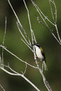White-throated Honeyeater (Melithreptus Albogularis) Royalty Free Stock Photos - 46476728