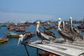 Peruvian Pelicans In Arica Royalty Free Stock Photo - 46481615