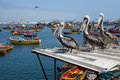 Peruvian Pelicans In Arica Royalty Free Stock Image - 46481616