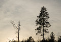 Pine Tree Silhouettes Stock Images - 46486114