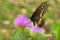 Black Swallowtail Butterfly Stock Images - 46490424