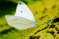 Cabbage White Butterfly Stock Photo - 46490490