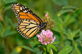 Monarch Butterfly Stock Photo - 46490860