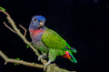 Blue Headed Parrot Sitting On A Branch Stock Image - 46496881