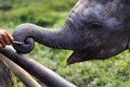 Baby Elephant Playing Stick With Trunk At Chitwan National Park Nepal Royalty Free Stock Image - 46502396