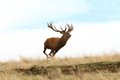 Male Red Deer Running Wild Royalty Free Stock Image - 46518756