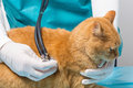 Animal Clinic -  Treatment With Stethoscopes At A Cat Royalty Free Stock Photos - 46525388