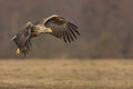 White Tailed Eagle In Flight, Copy Space To Right Royalty Free Stock Photo - 46540915